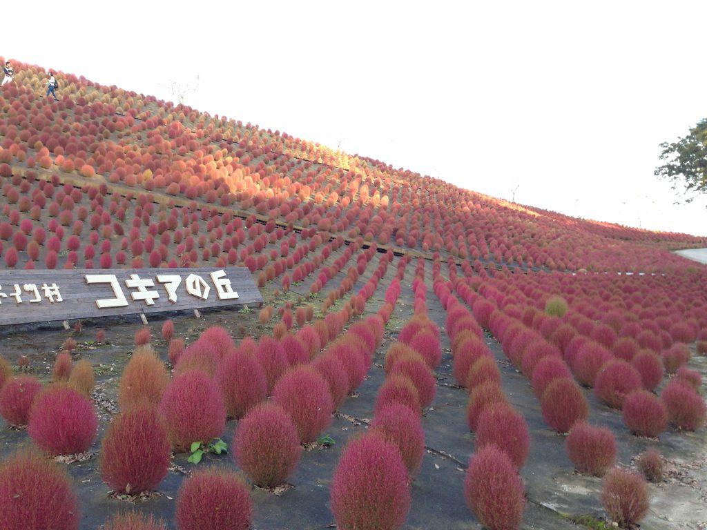 東京ドイツ村でのんびり!コキアの紅葉♡イルミネーションも11月開始!口コミ評判