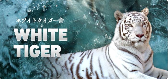 ホワイトタイガー